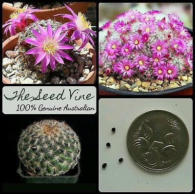 5 MAMMILLARIA DEHERDTIANA SEEDS - Rare Succulent Cacti Flower Drought CLEARANCE
