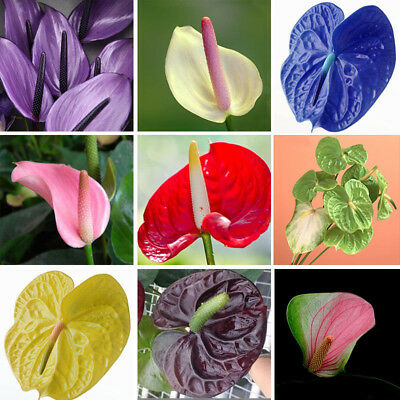 100pcs Rare Mixed Color Anthurium Andraeanu Flower Seeds Bonsai Plant Seed NEW