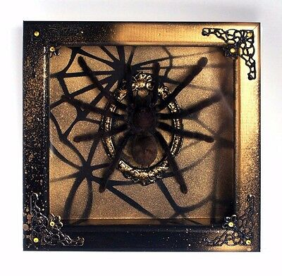 Lampropelma nigerrimum real spider taxidermy gothic walldecor goth framed insect