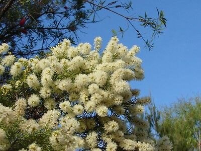 WHITE FEATHER HONEY-MYRTLE (Melaleuca Decora) Seeds