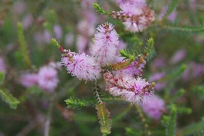 CROSS-LEAF / TOTEM POLE HONEY-MYRTLE (Melaleuca decussata) Seeds