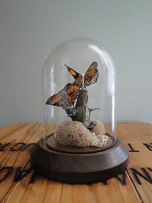 VTG Butterfly Display Glass dome wood Base Precis Westermann Africa Butterflies