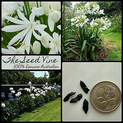 10+ WHITE AGAPANTHUS SEEDS (Orientalis White) Beautiful Garden Flowers Hardy
