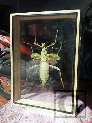 Giant Heteropteryx dilatata Real Insect Bug Taxidermy Display Framed Box gpasy