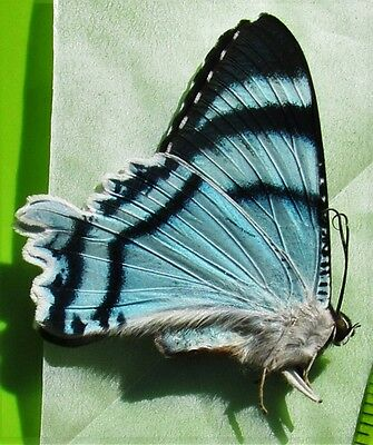 Amazing Blue Day Flying Moth Alcides agathyrsus Folded/Papered FAST FROM USA