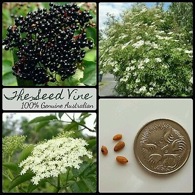 10+ BLACK ELDERBERRY TREE SEEDS (Sambucus nigra) European Edible Fruit Deciduous