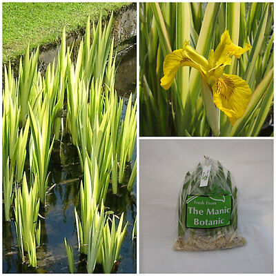 Iris pseudacorus 'Variegata' - Variegated Yellow Flag - Pond Margin Bog Border