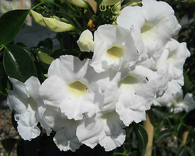 LADY DI Pandorea jasminoides native white flowers climbing plant 140mm pot