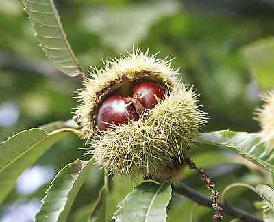 Sweet Chestnut Tree (Castanea sativa) - Small but Healthy - in 10cm pot