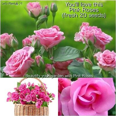 Lovely Pink Rose Seeds/20+Fresh Seeds/days old From my Garden