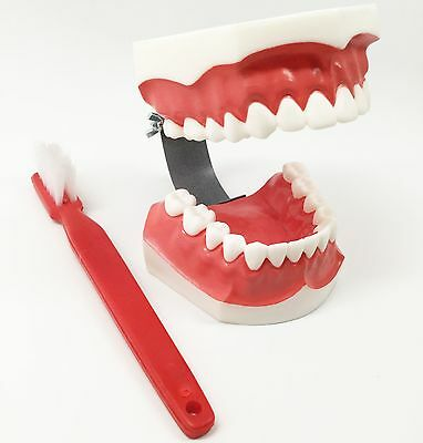 Dental Demonstration Teaching Model - Oversized Teeth Brushing Model