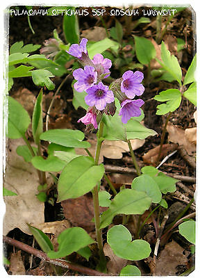 Pulmonaria officinalis ssp. obscura 'Lungwort' 20+ SEEDS
