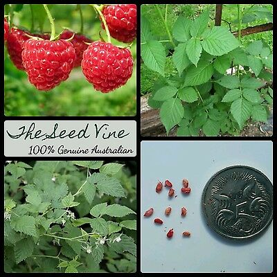 20+ ORGANIC RED RASPBERRY SEEDS (Rubus Idaeus) HEIRLOOM NON GMO Sweet High Yeild