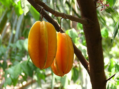 Sweet Averrhoa Carambola Seeds,Star fruit,Big Size from Thailand free shipping++