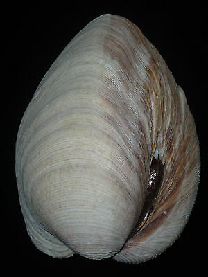 Mercenaria campechiensis 113.5mm 435g WEIGHT MASSIVE EXCELLENT SOUTHERN BEAUTY