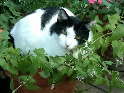 MENTA per  GATTO Nepeta cataria 1200 Semi Seeds