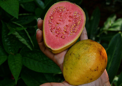 GUAVA GIANT  Delicious Fruit  25 Seeds