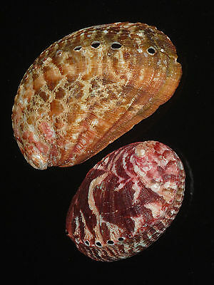 Haliotis tuberculata 116.5 + 85.7mm SET OF TWO SHELLS GORGEOUS RED HUGE BEAUTY
