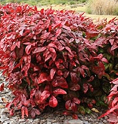 BLUSH Nandina domestica Dwarf hardy red-flushing hedging plant in 140mm pot