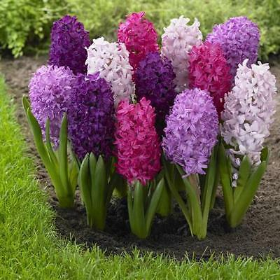 Hyacinth bulbs, (mix  color ) Shipping Now