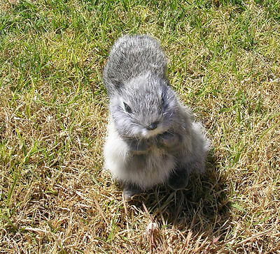 Realistic Lifelike Squirrel GY Rabbit/Goat Fur Furry Animal SQ1957
