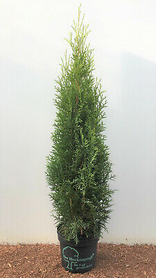 Quality Thuja Emerald Hedges Tree of Life, 80cm 2Liter Pot Quality, Bestseller
