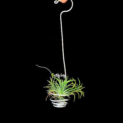 6*Air Plant Cactus Tillandsia Green Office Home Wire Hanging Garden Planters S
