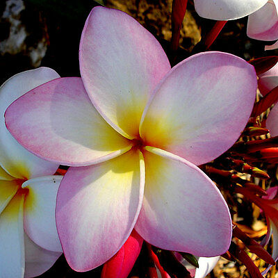 Frangipani rubra PLUMERIA Fragrant Tropical Flowering Tree, Mixed Colors ~SEEDS~