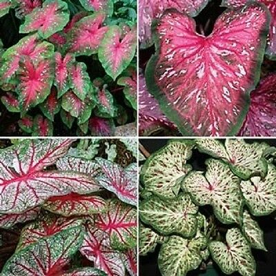 Caladium Tropical Mix ,(6 Bulbs) Thrives in Heat and Humidity