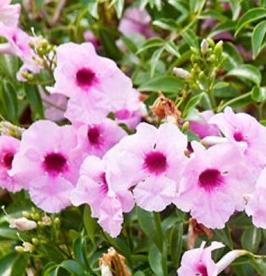 PARTY PINK Pandorea jasminoides native climbing flower plant in 140mm pot