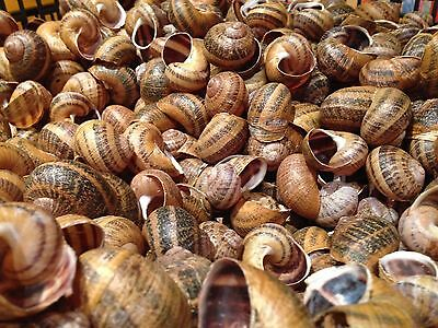 Shells-second-class 55 Large Snails Shells for Shelldwelling Cichlids/Tank Decor