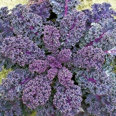 Vegetable Borecole Scarlet Kale 50 grams appx 13,500 seeds Bulk
