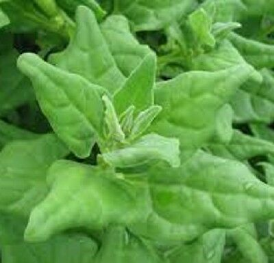 WARRIGAL GREENS native leafy vegetable plants in 100mm pot
