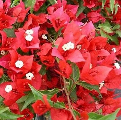 FLAME Bougainvillea spectabilis red flowers climbs plant in 140mm pot