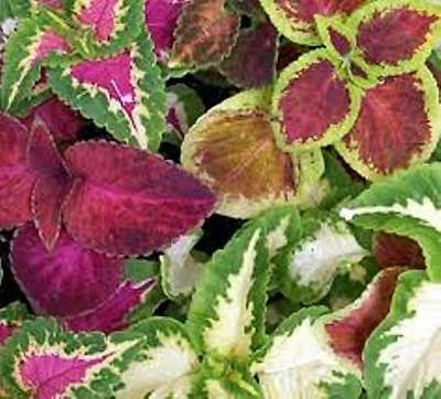6 x MIXED COLEUS colourful foliage plants – seedling punnet