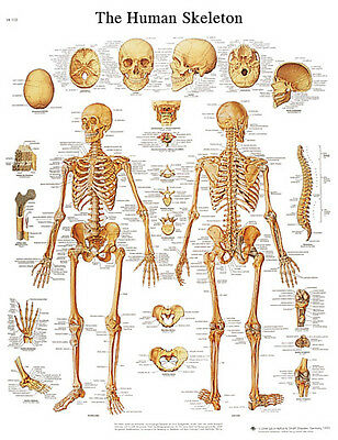 Anatomical Chart - human skeleton, paper