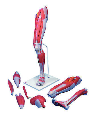 Anatomical Model - Deluxe muscular leg 7-part