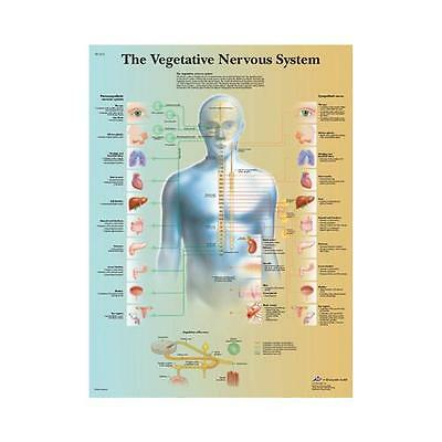 Anatomical Chart - vegetative nervous system, laminated