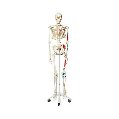 Anatomical Model - Max the muscle skeleton on roller stand