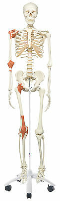 Anatomical Model - Leo the ligament skeleton on roller stand