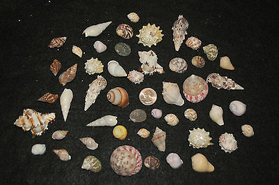 "Set Of 50 Assorted Small Hermit Crab Seashells 1/2"" To 2""--Set 70"