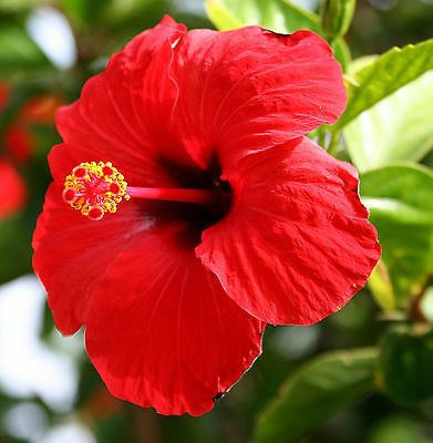 RUBY RED Hibiscus large flowers hedging plant in 140mm pot