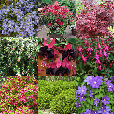 5 X High Quality Mixed Shrubs Evergreen & Deciduous Healthy Garden Plant In Pot