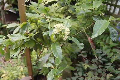 Psychotria Alba Tree Sapling 5 Years Old 80 cm Tall Very Rarely Found In The U.K