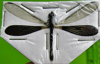 Lot of 2 Real Java Dragonfly Damselfly Rhinocypha anisoptera FAST SHIP FROM USA