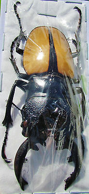 Indonesian Stag Beetle Odontolabis ludekingi 70-75 mm Male FAST SHIP FROM USA