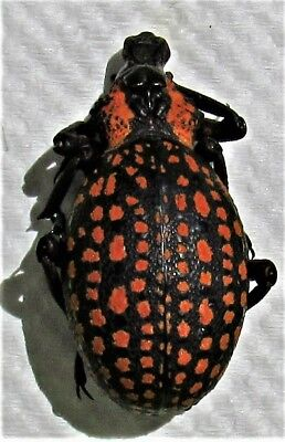 Red-spotted Lily Snout Beetle Hippo Brachycerus ornatus FAST SHIP FROM USA
