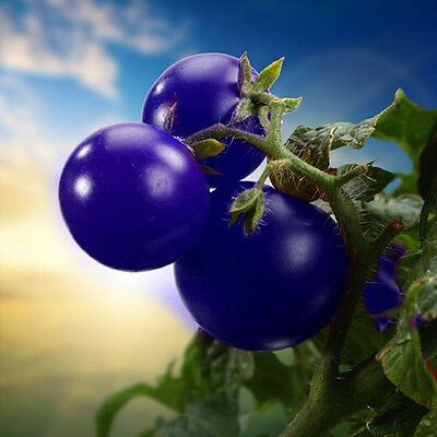 20pcs Purple Cherry Tomato Seeds Organic Fruit Vegetable Garden Plant Seed