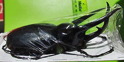 Giant Rhino Beetle Male Chalcosoma caucasus 80-89 mm FAST SHIP FROM USA