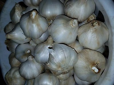 Elephant Garlic Organic for Seed or Eating - non gmo and non hybrid